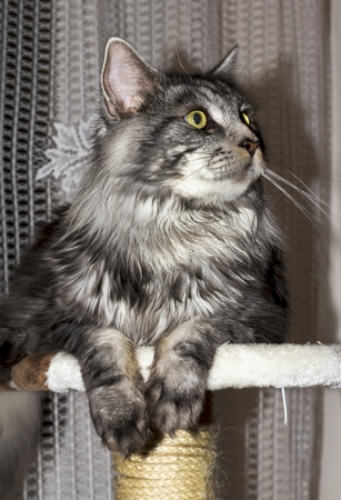 maine coon: