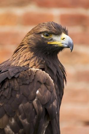 yeux: dangereux pr�dateur sur spectacle de fauconnerie