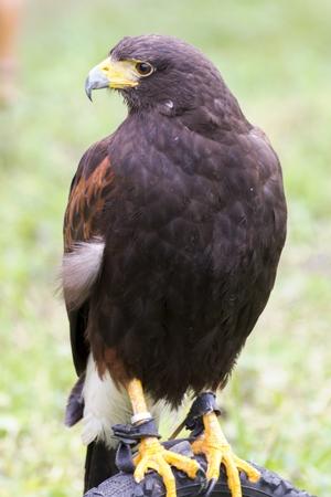 cetreria: dangerous predator on falconry show Foto de archivo