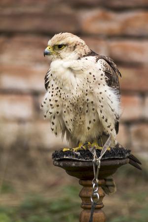 falconry: dangerous predator on falconry show Stock Photo
