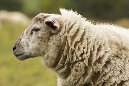 ovejitas: reba�o de ovejas en los pastos Foto de archivo