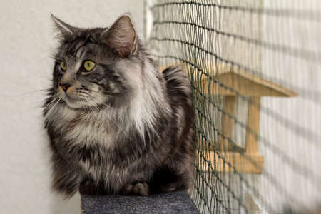 A beautiful young tabby Maine Coon Banco de Imagens
