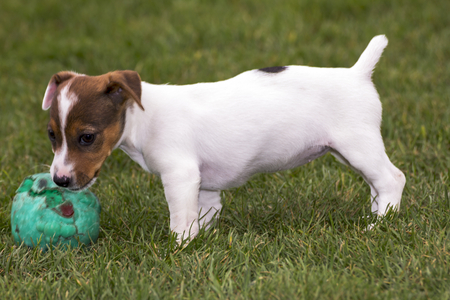 russell: little jack russell terrier playing
