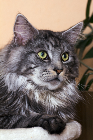 maine cat: young tabby cat Maine Coon