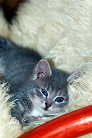 hunter playful: cute little cat sleeping on fur