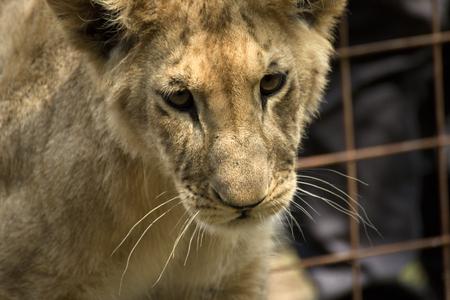 hunter playful: beautiful little lion in garden