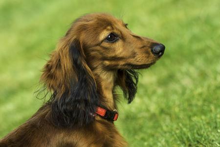 playfulness: Small playful dachshund in nature