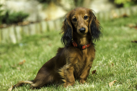 Small playful dachshund in nature