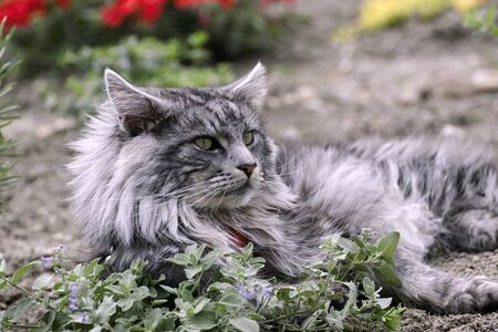 Maine coon cat resting in the garden
