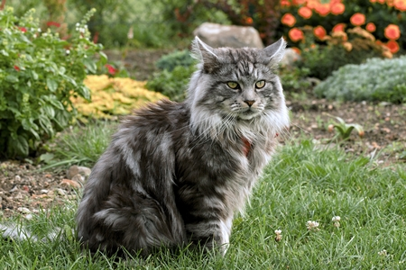 Maine coon cat in the garden Stock Photo