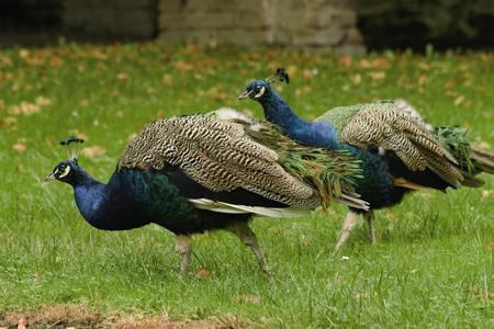 beautiful peacock in the castle garden