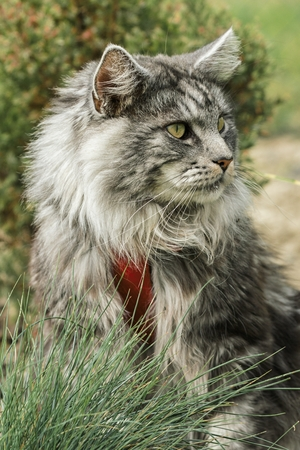 gray: beautiful maine coon in nature