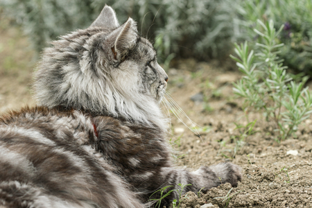 beautiful maine coon in nature