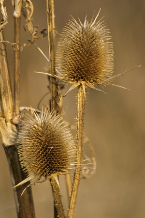 beautiful dry thistles in the garden