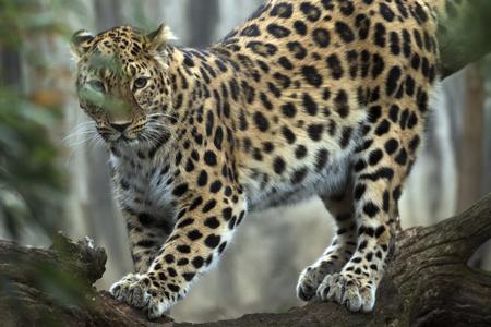 beautiful leopard held in captivity Stock Photo