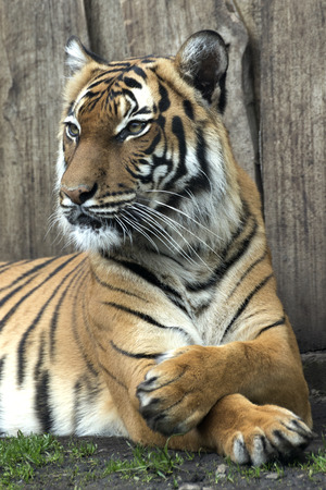 lying Bengal tiger kept in the zoo