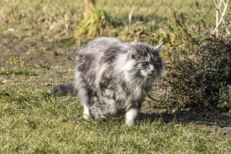 beautiful coon in nature in spring