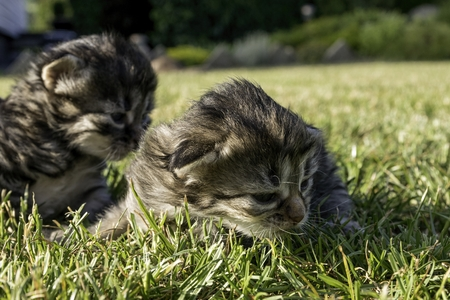 two little kittens playing on the lawn