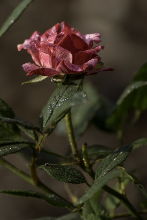 beautiful red rose blooms in the garden Stock Photo