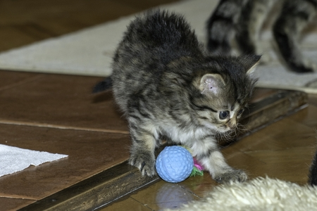 young wolf cats play in the house Stock Photo