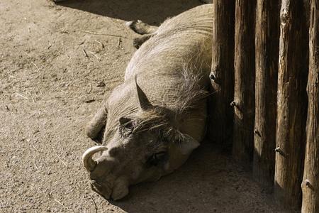 Savannah pig Phacochoerus africanus africanus in zoo