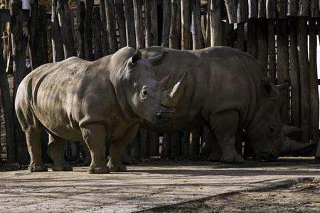 Southern White Rhinoceros Ceratotherium simum simum in zoo