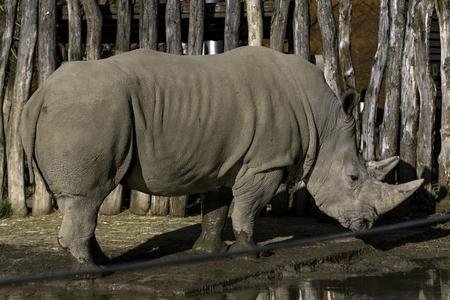 Southern White Rhinoceros Ceratotherium simum simum in zoo Reklamní fotografie