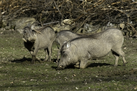 Savannah pig Phacochoerus africanus africanus in zoo Reklamní fotografie