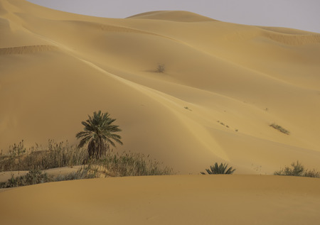 Isolated palm in dunes of Grand Erg Occidental in Sahara, Algeria 스톡 콘텐츠