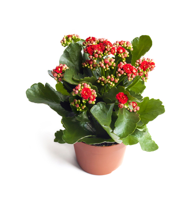Kalanchoe flower in pot isolated on white background with clipping path Stok Fotoğraf