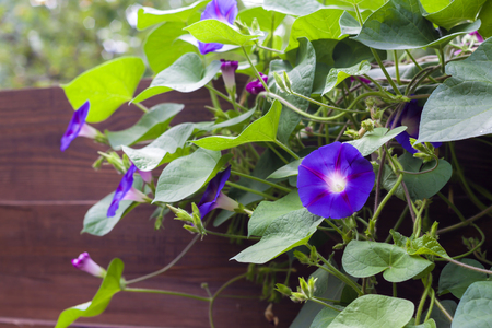 twine: Morning Glory (Ipomoea) flowers twine upward wooden fence