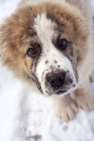 alabai: Portrait of three months puppy of Central Asian Shepherd