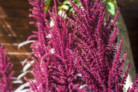 amaranthus: Red amaranth (Amaranthus cruentus)
