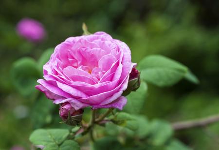 (ローズ デ Peintres) センチフォリアバラ花クローズ アップ 写真素材