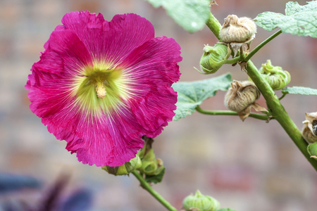 mallow: Flower of pink mallow closeup on green background Stock Photo