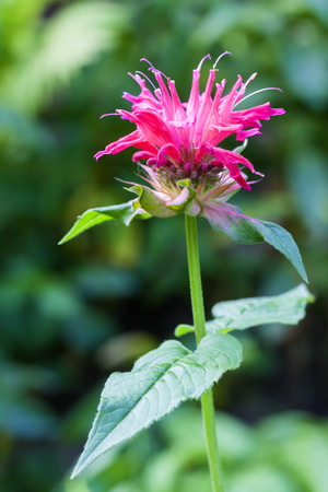 crimson colour: Red Monarda (Monarda didyma) flower closeup