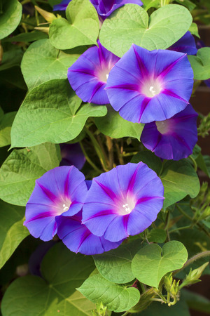 나팔꽃 (Ipomoea) 꽃 스톡 콘텐츠 - 65551324