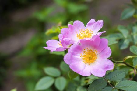 Flower of dog-rose closeup