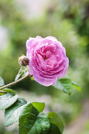 Rosa Centifolia (Rose des Peintres) flower closeup