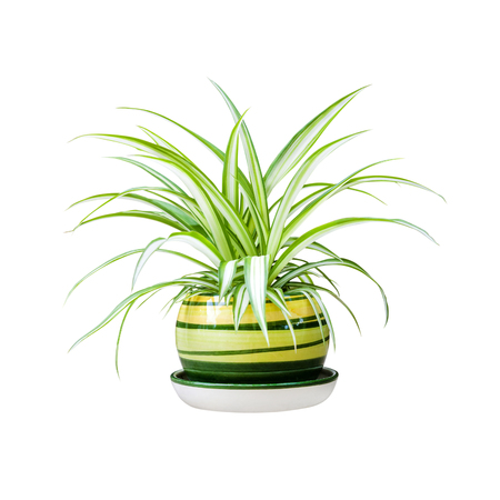 Chlorophytum comosum (also known spider plant, airplane plant, St. Bernard's lily, spider ivy, ribbon plant, and hen and chickens) in a pot isolated on white background with clipping path 스톡 콘텐츠 - 120749425