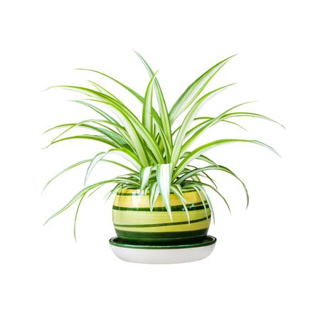 Chlorophytum comosum (auch bekannt als Spinnenpflanze, Flugzeugpflanze, Bernhardinerlilie, Spinnenefeu, Bandpflanze und Henne und Hühner) in einem Topf isoliert auf weißem Hintergrund mit Beschneidungspfad