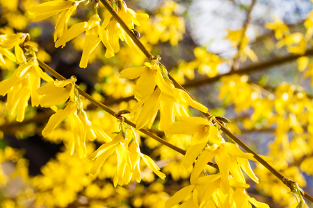 Branch of flowering Forsythia closeup on blurred background 版權商用圖片
