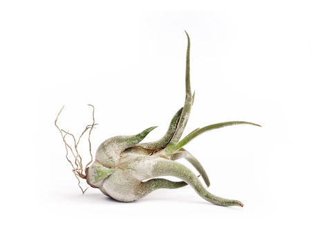 Tillandsia caput-medusae (also known as octopus plant and medusas head) isolated on white background