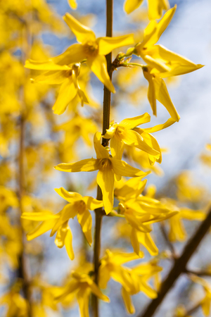 Branch of flowering Forsythia closeup on blue sky background