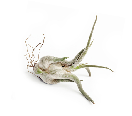 Tillandsia caput-medusae (also known as octopus plant and medusa's head) isolated on white background Banco de Imagens