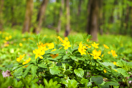 Anemone ranunculoides (yellow anemone, yellow wood anemone or buttercup anemone) growing in spring forest