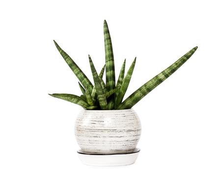 Pot Sansevieria cylindrica var. patula geïsoleerd op een witte achtergrond. Sansevieria cylindrica ook bekend als de cilindrische slang plant, Afrikaanse speer of speer sansevieria, is een bloeiende vetplant