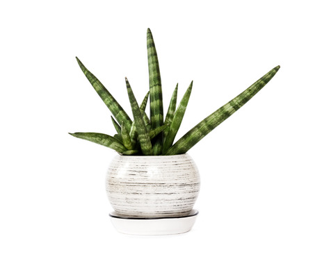 Sansevieria cylindrica im Topf var. Patula isoliert auf weißem Hintergrund. Sansevieria cylindrica, auch bekannt als die zylindrische Schlangenpflanze, afrikanischer Speer oder Speer-Sansevieria, ist eine blühende Sukkulente