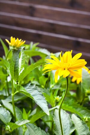 Heliopsis flowers closeup on wooden fence background