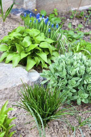 Young decorative plants of Hosta lancifolia, Sedum and Ornithogalum on flower bed in spring garden Stock Photo
